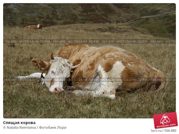 Спящая корова, эксклюзивное фото № 104480, снято 22 июля 2017 г. (c) Natalia Nemtseva / Фотобанк Лори