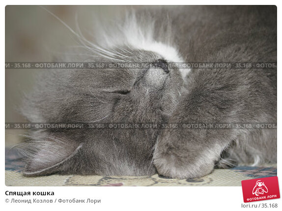 Спящая кошка, фото № 35168, снято 30 марта 2017 г. (c) Леонид Козлов / Фотобанк Лори