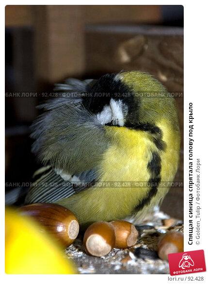 Спящая синица спрятала голову под крыло, фото № 92428, снято 30 сентября 2007 г. (c) Golden_Tulip / Фотобанк Лори