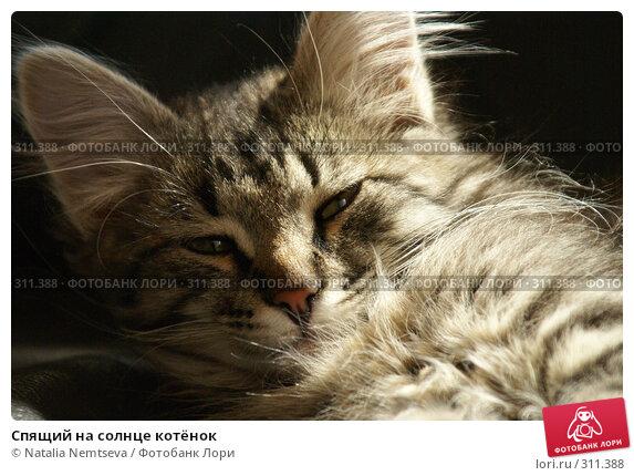 Спящий на солнце котёнок, эксклюзивное фото № 311388, снято 18 мая 2008 г. (c) Natalia Nemtseva / Фотобанк Лори