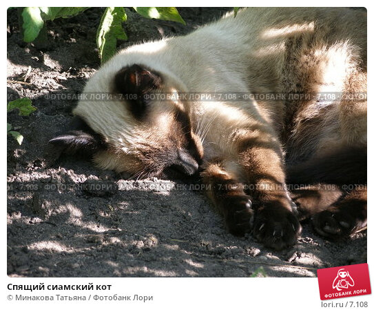 Спящий сиамский кот, фото № 7108, снято 20 августа 2005 г. (c) Минакова Татьяна / Фотобанк Лори