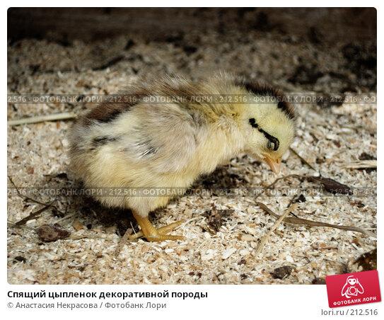 Спящий цыпленок декоративной породы, фото № 212516, снято 27 мая 2007 г. (c) Анастасия Некрасова / Фотобанк Лори
