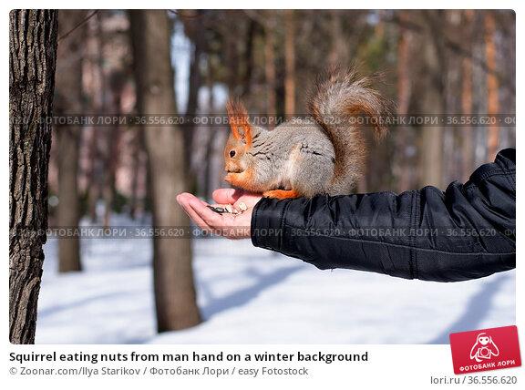 Squirrel eating nuts from man hand on a winter background. Стоковое фото, фотограф Zoonar.com/Ilya Starikov / easy Fotostock / Фотобанк Лори