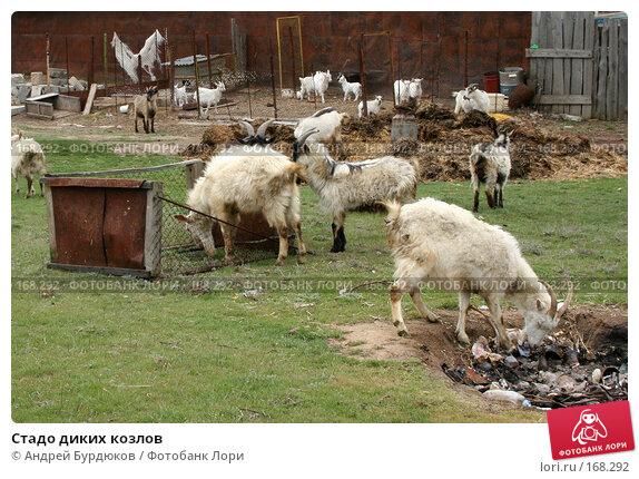 Стадо диких козлов, фото № 168292, снято 11 апреля 2007 г. (c) Андрей Бурдюков / Фотобанк Лори