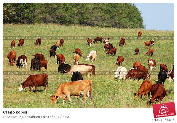 Стадо коров, фото № 155816, снято 18 августа 2007 г. (c) Александр Катайцев / Фотобанк Лори