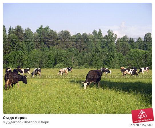 Стадо коров, фото № 157580, снято 17 июня 2005 г. (c) Дудакова / Фотобанк Лори