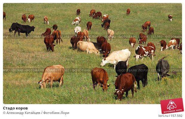 Стадо коров, фото № 157592, снято 18 августа 2007 г. (c) Александр Катайцев / Фотобанк Лори