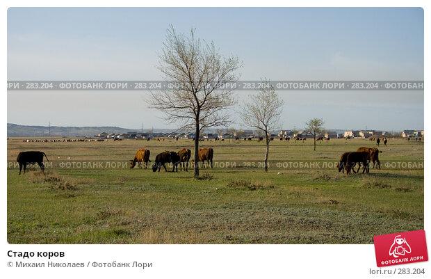 Стадо коров, фото № 283204, снято 13 мая 2008 г. (c) Михаил Николаев / Фотобанк Лори