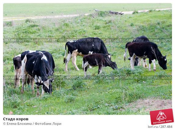 Стадо коров, фото № 287484, снято 16 мая 2008 г. (c) Елена Блохина / Фотобанк Лори