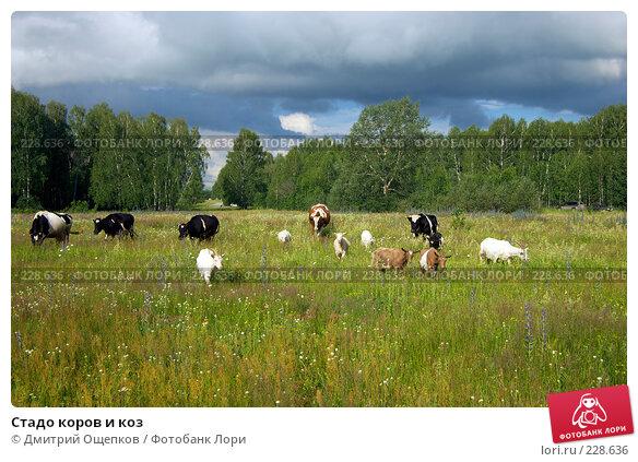 Стадо коров и коз, фото № 228636, снято 1 июля 2007 г. (c) Дмитрий Ощепков / Фотобанк Лори
