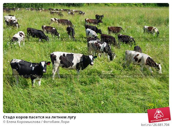 Купить «Стадо коров пасется на летнем лугу», фото № 26681704, снято 19 июля 2017 г. (c) Елена Коромыслова / Фотобанк Лори