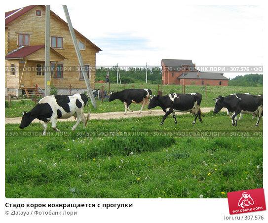 Купить «Стадо коров возвращается с прогулки», фото № 307576, снято 1 июня 2008 г. (c) Zlataya / Фотобанк Лори
