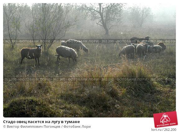 Стадо овец пасется на лугу в тумане, фото № 262200, снято 6 ноября 2004 г. (c) Виктор Филиппович Погонцев / Фотобанк Лори