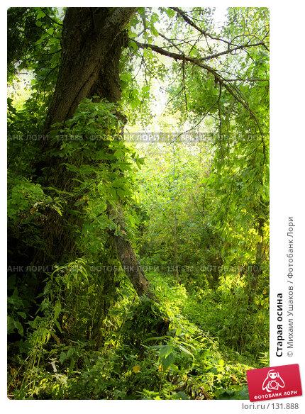 Старая осина, фото № 131888, снято 27 сентября 2007 г. (c) Михаил Ушаков / Фотобанк Лори