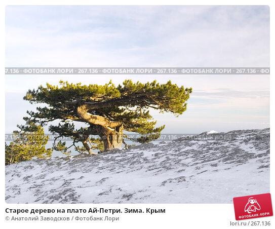 Старое дерево на плато Ай-Петри. Зима. Крым, фото № 267136, снято 8 января 2005 г. (c) Анатолий Заводсков / Фотобанк Лори
