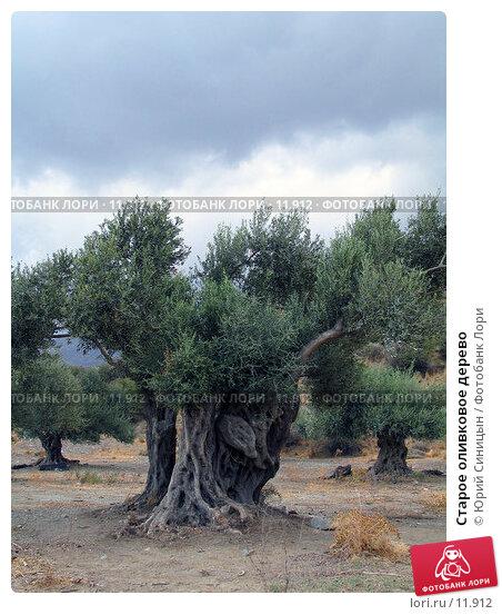 Старое оливковое дерево, фото № 11912, снято 24 сентября 2006 г. (c) Юрий Синицын / Фотобанк Лори