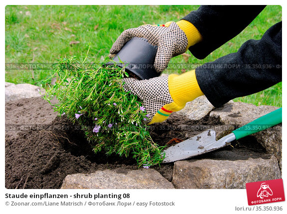 Staude einpflanzen - shrub planting 08. Стоковое фото, фотограф Zoonar.com/Liane Matrisch / easy Fotostock / Фотобанк Лори