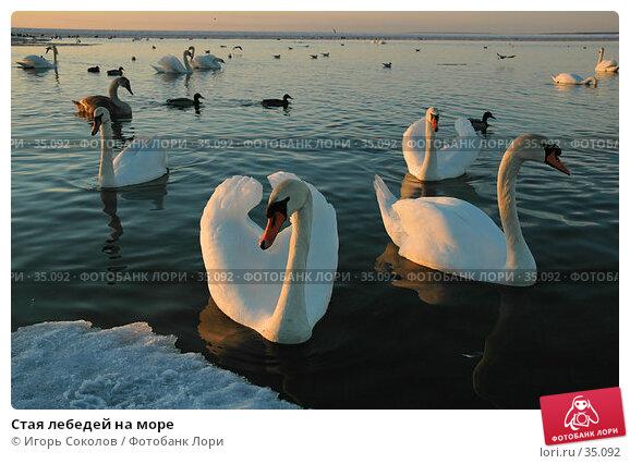 Стая лебедей на море, фото № 35092, снято 23 июля 2017 г. (c) Игорь Соколов / Фотобанк Лори