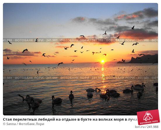 Стая перелетных лебедей на отдыхе в бухте на волнах моря в лучах уходящего солнца, фото № 241988, снято 12 января 2008 г. (c) Sanna / Фотобанк Лори