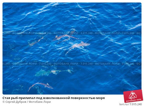 Купить «Стая рыб-прилипал под взволнованной поверхностью моря», фото № 7015240, снято 7 февраля 2013 г. (c) Сергей Дубров / Фотобанк Лори