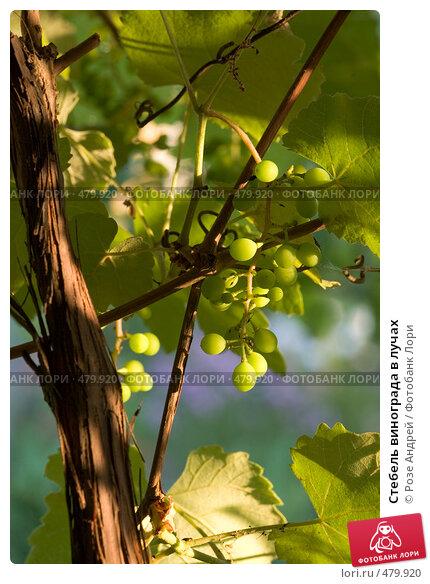Купить «Стебель винограда в лучах», фото № 479920, снято 26 июля 2008 г. (c) Розе Андрей / Фотобанк Лори