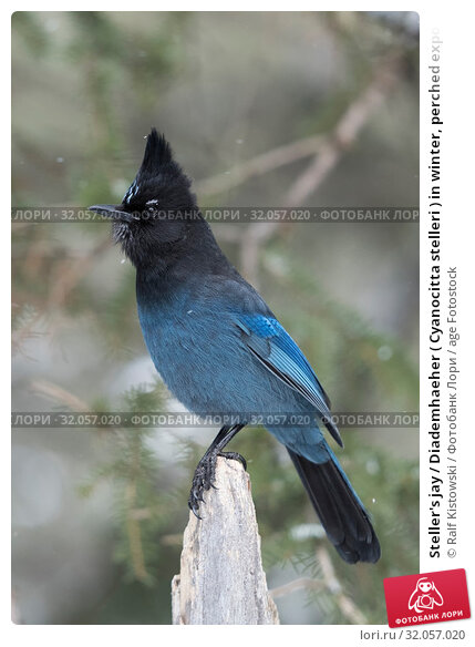 Steller's jay / Diademhaeher ( Cyanocitta stelleri ) in winter, perched exposed on top of a dead trunk, erected crest, watching attentive, Yellowstone area, USA. Стоковое фото, фотограф Ralf Kistowski / age Fotostock / Фотобанк Лори
