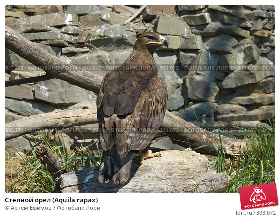Купить «Степной орел (Aquila rapax)», фото № 303072, снято 4 мая 2008 г. (c) Артем Ефимов / Фотобанк Лори