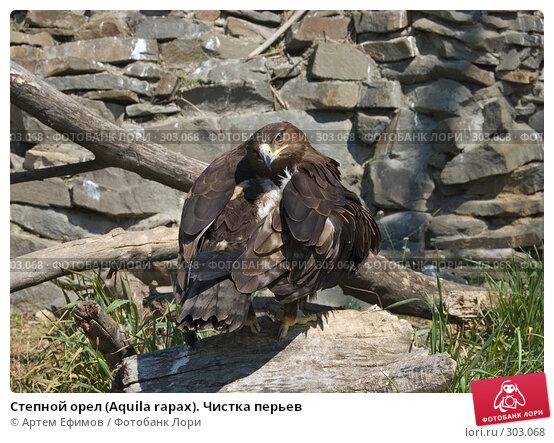 Степной орел (Aquila rapax). Чистка перьев, фото № 303068, снято 4 мая 2008 г. (c) Артем Ефимов / Фотобанк Лори