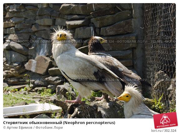 Стервятник обыкновенный (Neophron percnopterus), фото № 302324, снято 4 мая 2008 г. (c) Артем Ефимов / Фотобанк Лори