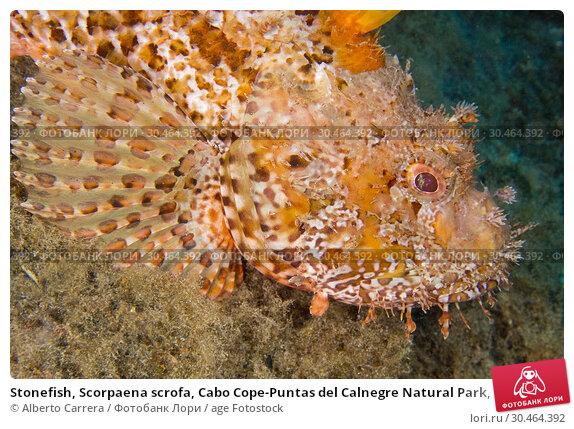 Stonefish, Scorpaena scrofa, Cabo Cope-Puntas del Calnegre Natural Park, Mediterranean Sea, Region de Murcia, Murcia, Spain, Europe. Стоковое фото, фотограф Alberto Carrera / age Fotostock / Фотобанк Лори
