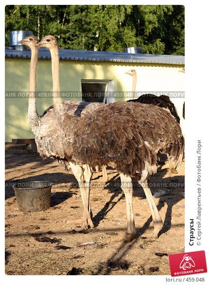 Страусы, фото № 459048, снято 23 июля 2006 г. (c) Сергей Лаврентьев / Фотобанк Лори
