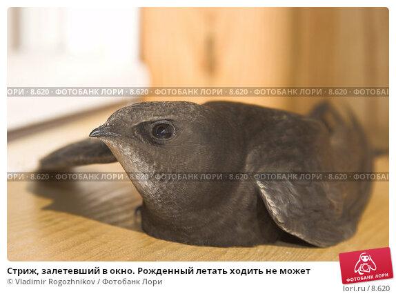 Стриж, залетевший в окно. Рожденный летать ходить не может, фото № 8620, снято 22 мая 2006 г. (c) Vladimir Rogozhnikov / Фотобанк Лори