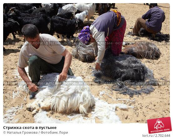 Стрижка скота в пустыне (2009 год). Редакционное фото, фотограф Наталья Громова / Фотобанк Лори