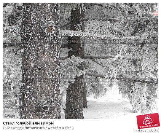 Ствол голубой ели зимой, фото № 142184, снято 7 декабря 2007 г. (c) Александр Литовченко / Фотобанк Лори