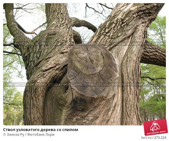 Ствол узловатого дерева со спилом, фото № 273224, снято 1 мая 2008 г. (c) Заноза-Ру / Фотобанк Лори