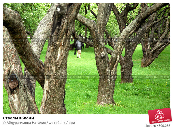 Купить «Стволы яблони», фото № 300236, снято 10 мая 2008 г. (c) Абдурагимова Наталия / Фотобанк Лори