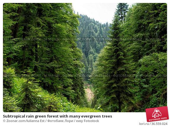 Subtropical rain green forest with many evergreen trees. Стоковое фото, фотограф Zoonar.com/Iulianna Est / easy Fotostock / Фотобанк Лори