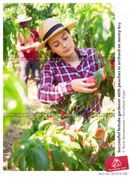 Successful female gardener with peaches in orchard on sunny day. Стоковое фото, фотограф Яков Филимонов / Фотобанк Лори