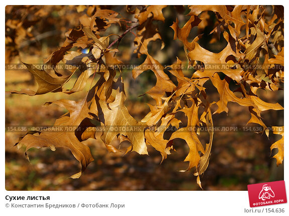 Купить «Сухие листья», фото № 154636, снято 15 октября 2006 г. (c) Константин Бредников / Фотобанк Лори