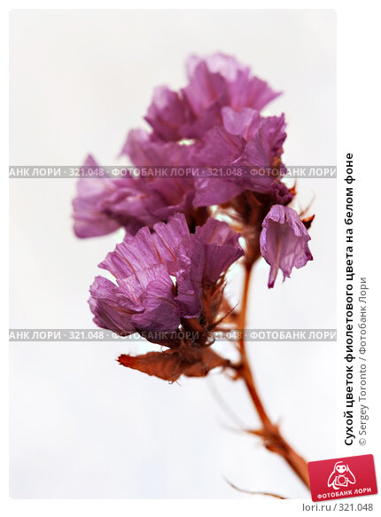 Купить «Сухой цветок фиолетового цвета на белом фоне», фото № 321048, снято 30 апреля 2008 г. (c) Sergey Toronto / Фотобанк Лори