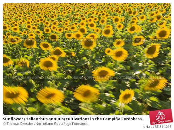Sunflower (Helianthus annuus) cultivations in the Campiña Cordobesa... Стоковое фото, фотограф Thomas Dressler / age Fotostock / Фотобанк Лори