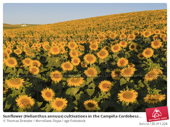 Sunflower (Helianthus annuus) cultivations in the Campiña Cordobesa... Стоковое фото, фотограф Thomas Dressler / age Fotostock / Фотобанк Лори