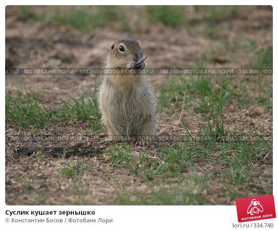 Купить «Суслик кушает зернышко», фото № 334740, снято 20 апреля 2018 г. (c) Константин Босов / Фотобанк Лори