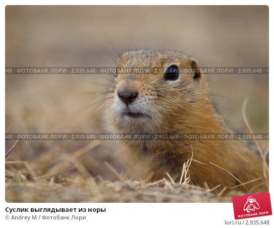 Купить «Суслик выглядывает из норы», фото № 2935648, снято 22 августа 2011 г. (c) Andrey M / Фотобанк Лори