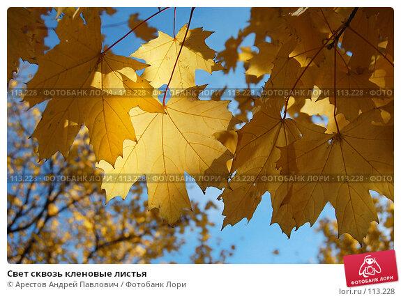 Свет сквозь кленовые листья, фото № 113228, снято 20 октября 2007 г. (c) Арестов Андрей Павлович / Фотобанк Лори