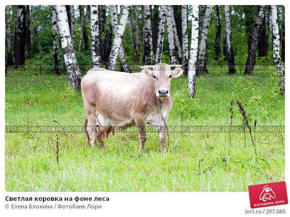 Купить «Светлая коровка на фоне леса», фото № 297080, снято 21 мая 2008 г. (c) Елена Блохина / Фотобанк Лори