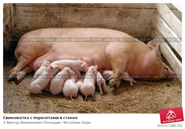 Свиноматка с поросятами в станке, фото № 268372, снято 7 апреля 2006 г. (c) Виктор Филиппович Погонцев / Фотобанк Лори