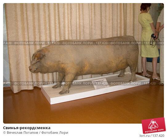 Свинья-рекордсменка, фото № 137420, снято 11 августа 2007 г. (c) Вячеслав Потапов / Фотобанк Лори