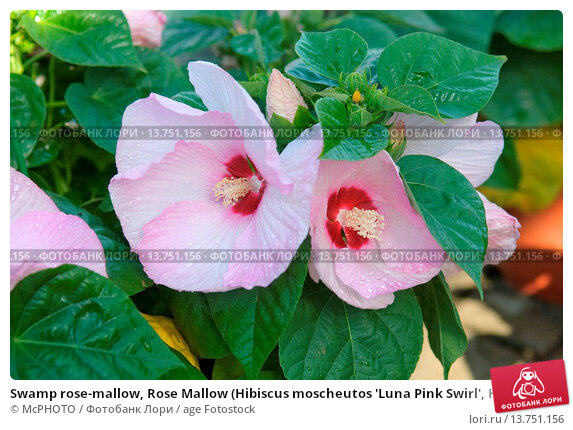Swamp Rose Mallow Rose Mallow Hibiscus Moscheutos Luna Pink Swirl