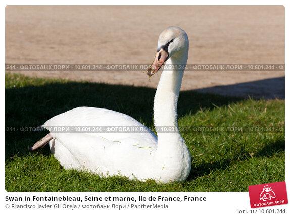 Swan in Fontainebleau, Seine et marne, Ile de France, France. Стоковое фото, фотограф Francisco Javier Gil Oreja / PantherMedia / Фотобанк Лори